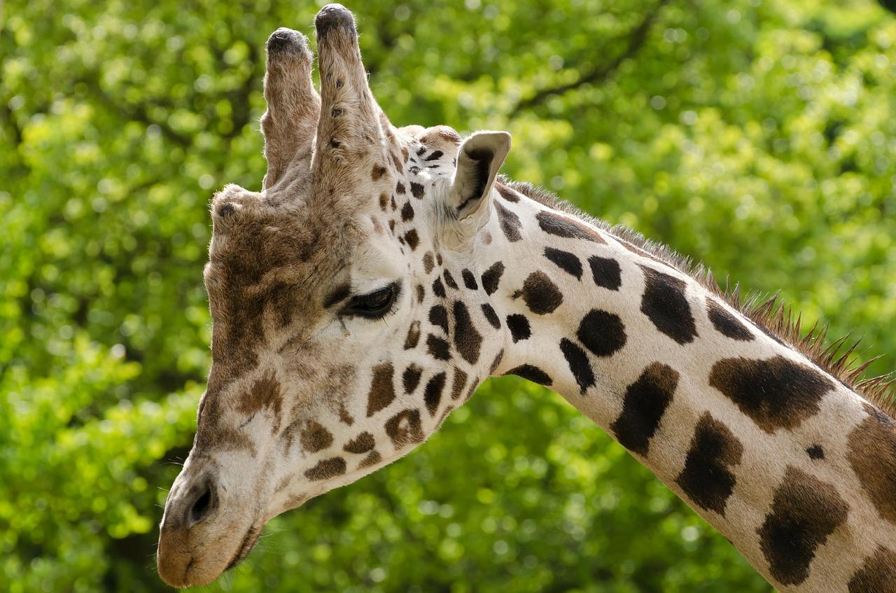giraffe-165212_1280